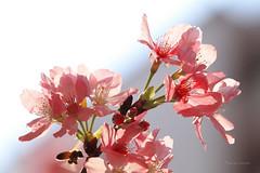 躲在角落裡 (Lavender0302) Tags: 櫻花 蜜蜂 淡水 新北市 台灣 taiwan cherryblossoms bee