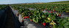 strawberry fields almost forever (brian eagar - very busy - not much time to comment) Tags: strawberry strawberries carlsbad california upick sweet landscape nature garden mulch berry sky blue red green