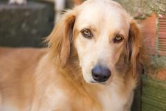 Romeu (nnessies) Tags: dog cachorro puppy little love romeu canon photo 50mm eyes yellowdog