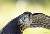 Merlin (in Explore) (Gatorgirl51) Tags: merlin falcon rescue birds prey
