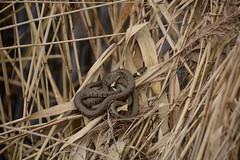 grass snake (Natrix helvetica) mating pair (willjatkins) Tags: snakes snake snakesofeurope reptiles reptile reptilesofeurope grasssnake natrix natrixhelvetica britishwildlife britishamphibiansandreptiles britishreptilesandamphibians britishreptiles britishsnakes ukwildlife ukreptilesandamphibians ukamphibiansandreptiles ukreptiles uksnakes oxfordshirewildlife otmoor rspbotmoor matingsnakes nikond7100