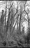 forest, hillside, early spring, North Asheville, NC, FED 4, Industar 26 50mm f-2.8, early April 2018 (steve aimone) Tags: forest hillside trees visualrhythm earlyspring asheville northcarolina fed4 industar2650mmf28 primelens aristaedu200 ilfordilfosol3developer soviet rangefinder 35mm 35mmfilm film blackandwhite monochrome monochromatic landscape