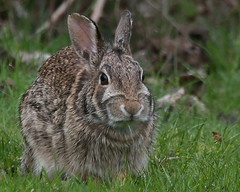 A little bit of country..... (Paridae) Tags: alittlebitofcountry bunny cottontail rabbit mammalsofbritishcolumbia campbellvalleypark canoneos1dx