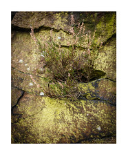 heather-growing-in-rock-crevice (jdtphotographycouk) Tags: colourphotography rocks heather plants nature landscapephotography microlandscape colorphoto colourlandscapephotography detailedphoto