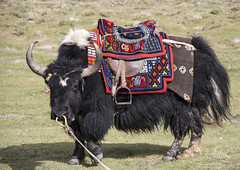 Yak#1 (bag_lady) Tags: yak tourism ladakh pangonglakeroad jammukashmir india remote animal himalayas