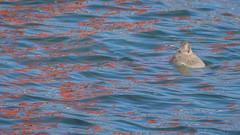 Seal Under the Bridge (ER Post) Tags: california californiafebruary2018 goldengatebridge harborsealphocavitulina marinemammals park statepark trips mammal sanfrancisco unitedstates us