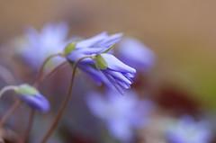 Waiting for the light (Baubec Izzet) Tags: baubecizzet pentax bokeh flower nature flickrunitedaward