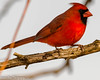 Red & Bold (vernonbone) Tags: 2018 april birds cardinals eastpoint february lens march nikond3200