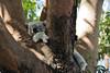 DSC_8747 (Hong Z) Tags: sydney australia nikond700 28300mmf3556 tarongazoo koala