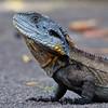Gippsland Water Dragon (aaardvaark) Tags: 201701091d0057 waterdragon72x3017x17 waterdragon australianwaterdragon gippslandwaterdragon intellagamalesueuriihowitti anbg canberra australia