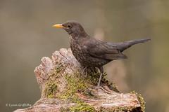 Blackbird - Female D85_2227.jpg (Mobile Lynn) Tags: birds nature blackbird bird fauna oscines passeri passeriformes songbird songbirds wildlife coth specanimal coth5 ngc npc