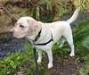 Gracie standing beside the creek (walneylad) Tags: gracie dog canine pet puppy cute lab labrador labradorretriever april spring morning westlynn