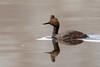 Eared Grebe-48373.jpg (Mully410 * Images) Tags: earedgrebe avian birding coonrapidsdam bird birds grebe birdwatching birder mississippinationalriverrecreationarea nationalpark