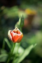 Tulip in my garden (judy dean) Tags: garden spring flowers 2018 judydean
