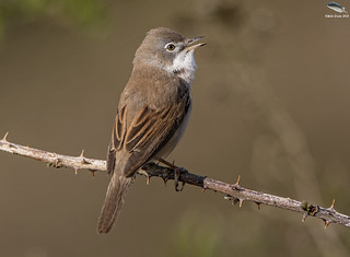 First Whitethroat of the year