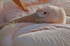 Soffice / Soft (London Zoo, London, United Kingdom) (AndreaPucci) Tags: zoo london uk spring pelican andreapucci soft pink