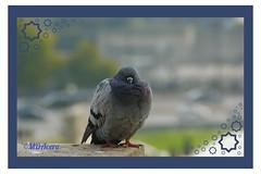 Posado parisino (mariadoloresacero) Tags: acero mdacero oiseaux birds pájaros bird paris france francia parís pigeon mensajera paloma colombe
