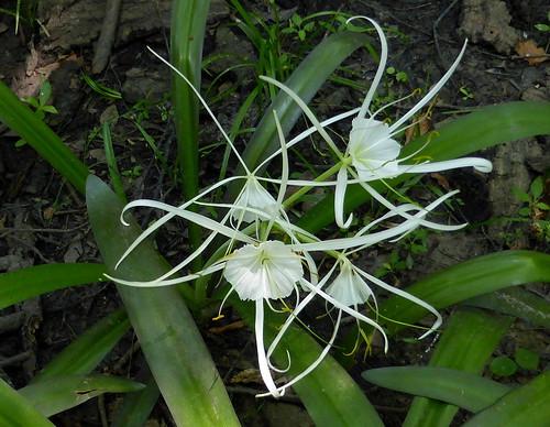 Panhandle Spiderlily