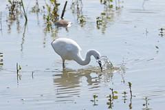Aigrette garzette (Egretta garzetta) (baltik18) Tags: aigrette garzette egretta garzetta pelecaniformes ardeidae domaine des oiseaux ariège
