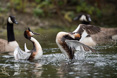 _DSC6458 (Bartek Olszewski) Tags: grebe birds ducks nature nikon nikond4s natureperfectionthernature perkoz wildlifephotography water