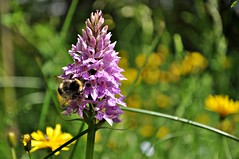 Wilde Orchidee (Uli He - Fotofee) Tags: ulrike ulrikehe uli ulihe ulrikehergert hergert nikon nikond90 fotofee moor rotesmoor kaskadenschlucht moorsee heidelstein moorwiese schornhecke mathesberg moordorf wildeorchideen stempelstelle stempel wanderstempel