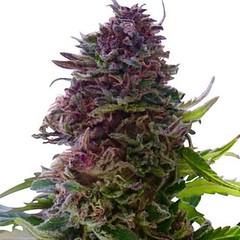 granddaddy-purple-seeds-fem_large (Watcher1999) Tags: grand daddy purple thc strains cannabis medical marijuana seeds california growing weed smoking ganja legalize it