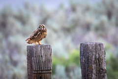 Short Eared Owl (mstrozewski1) Tags: shortearedowl owl photography nature utah animal wildlife bird birdofprey