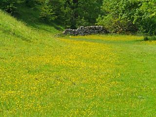 Buttercup field, Ribblesdale