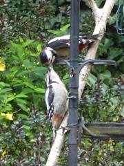 Father and child (JuliaC2006) Tags: dendrocoposmajor greatspottedwoodpecker bird garden baby