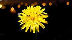 Flora - 5381 (ΨᗩSᗰIᘉᗴ HᗴᘉS +19 000 000 thx) Tags: flower flora yellow insect lx15 hensyasmine namur belgium europa aaa namuroise look photo friends be wow yasminehens interest intersting eu fr greatphotographers lanamuroise tellmeastory flickering
