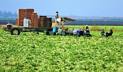 June21Image2425 (Michael T. Morales) Tags: agriculture farm cultivation rows furrows soil harvest salinasvalley ag