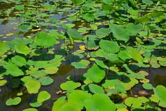 DSC_0096 (sxcxxhx) Tags: japan osaka kyoto hydrangea flower trip voyage 日本 大阪 京都 旅行