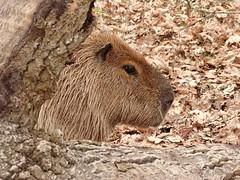 Capybara - Hiding (Rasenche) Tags: landgoedhoenderdaell animal capibara capybara rodent annapaulowna