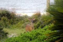 Deer (Dunes Jekyll Island (ToJoLa) Tags: deer hert gewei 2018 canon vakantie vacation zomer summer dunes duinen duingebied groen tree tuin nature natuur ocean zee water