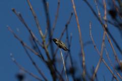 IMG_0988 (armadil) Tags: sanfranciscobotanicalgarden sfbotanicalgarden birdwalk bird birds hummingbird allenshummingbird sanfrancisco sanfranciscobotanicalgardens