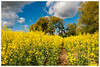 Colza (Pascale_seg) Tags: landscape paysage country countryscape champs campagne agriculture colza rapeseed jaune yellow printemps spring sky ciel nuages clouds moselle lorraine grandest france nature terre earth