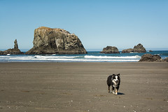 Aussie walking on the beach (maryannenelson) Tags: oregon shoreline coast beach rocks landscape animals bluesky