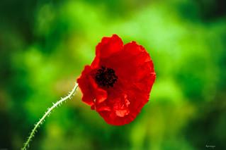 Pretty red poppy