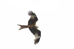 DSC_0617 (PeaTJay) Tags: nikond300s reading lowerearley berkshire outdoors nature birds birdsofprey redkite