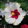 Hibiscus Tears (Brian 104) Tags: hibiscus flower white red garden droplets