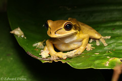 Masked tree frog (Smilisca phaeota) (edward.evans) Tags: maskedtreefrog treefrog frog amphibian smilisca smiliscaphaeota hylidae guayacánrainforestreserve guayacan crarc siquirres costarica rainforest wildlife nature centralamerica latinamerica costaricanamphibianresearchcenter