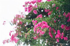 綠樹陰濃夏日長  時有微涼不是風 ([M!chael]) Tags: fujica st801 czj pancolar 5018 mc agfa vista200 m42 tainan taiwan film manual carlzeiss carlzeissjena nature flower color