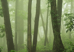 Misty Green Forest (Heather Cormons) Tags: appalachianmountains blueridgeparkway forest trees mist leaves