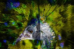 Pavo Real (seguicollar) Tags: imagencreativa photomanipulación art arte artecreativo artedigital virginiaseguí pavoreal ojo planta verde green