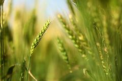 春,穗,初綠 (Landy Kuso) Tags: canon 5d3 5dmark3 小麥 wheat 黑翅鳶農場 台灣 taiwan