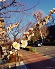 Plum blossoms (dxm8975) Tags: flower beauty spring plumblossoms