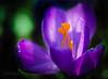 Kro-Kuss (Karsten Gieselmann) Tags: 60mmf28 blumen blüten bokeh dof em5markii frühling grün jahreszeiten krokus lila mzuiko microfourthirds natur olympus orange pflanzen schärfentiefe textur blossom crocus flower green kgiesel m43 mft nature purple seasons spring texture violett