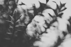 April fools (Kathy M photography) Tags: bw blackandwhite blackwhitegray kathymphotography macro macrophotography macrolens macroflower nature mood sony sonya65 sonyalpha dream