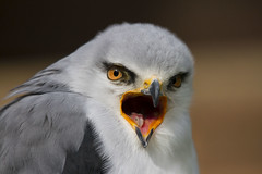 "Black Shouldered Kite (wayne.withers1970) Tags: kite raptor ""bird prey"" small pretty bird wings color colorful nature natural colour colourful wild wildlife england flickr dof bokeh country countryside outside outdoors alive fauna canon sigma light blur white grey brown feathers"