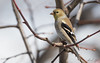 Chardonneret jaune // American Goldfinch (Keztik) Tags: chardonneretjaune americangoldfinch carduelistristis chardonneret jaune goldfinch bird oiseau animal wildlife nature nikon d7500 quebec canada